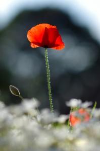 Poppies dans Nature coquelicot11-198x300